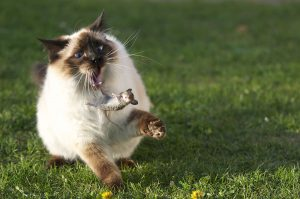 1200px-Large_Siamese_cat_tosses_a_mouse